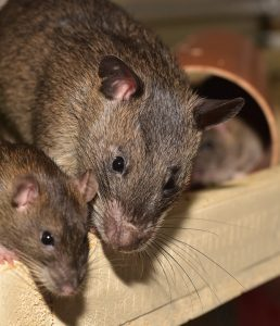 Read more about the article Rats in the language