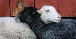 Read more about the article Hanged for a sheep as a lamb: idioms