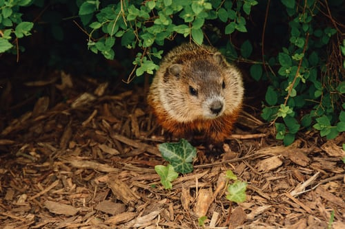 Groundhog idiom